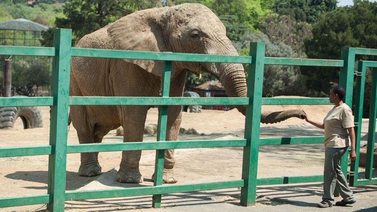 Νότια Αφρική: Φιλόζωοι ζητούν την απελευθέρωση της τελευταίας ελεφαντίνας του ζωολογικού κήπου του Γιοχάνεσμπουργκ