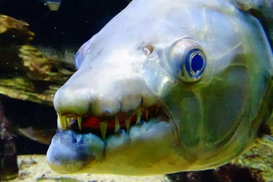 Αυτό το ψάρι-τίγρης έχει το μέγεθος ενός… ανθρώπου