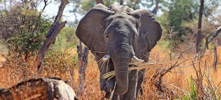 Σοκαριστική εικόνα: Κατακρεούργησαν ελέφαντα για να κλέψουν τους χαυλιόδοντές του