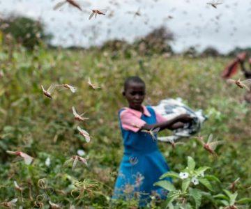 Σμήνη ακρίδων σαρώνουν τις καλλιέργειες στη Σομαλία