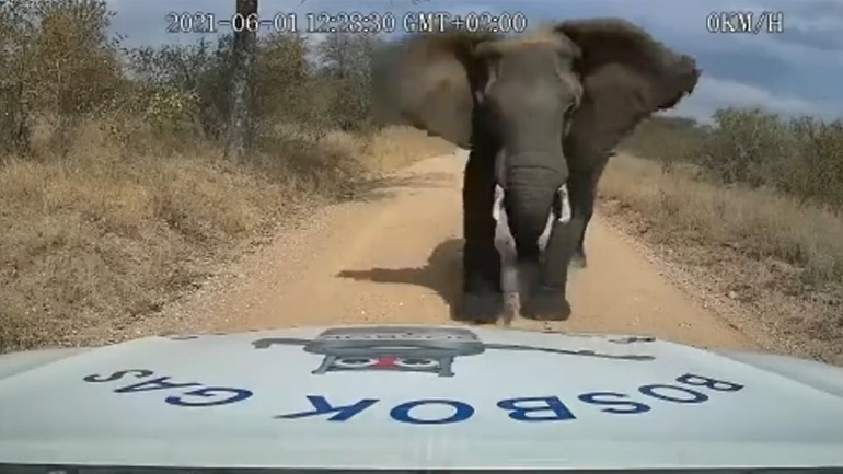Eλέφαντας τσαλακώνει καπό αυτοκινήτου