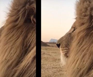 Το φτάρνισμα του λιονταριού